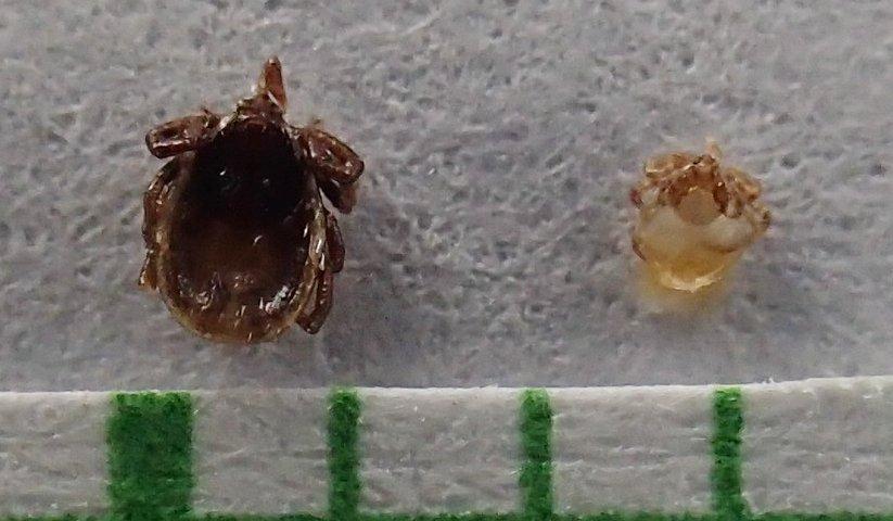 nymfa a larva kliešťa