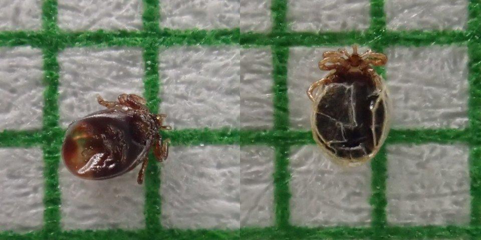 nacicané larvy